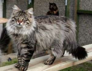 Описание норвежских кошек