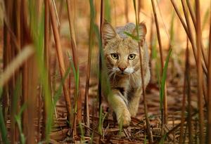 Основные черты характера камышового кота