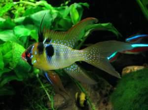 Как кормить рыбок апистограмма рамирези
