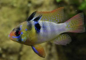 Уход за рыбками апистограмма рамирези