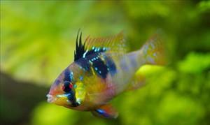 Совместимость апистограммы рамирези с другими рыбками
