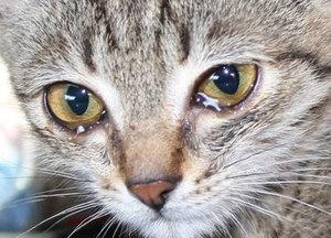 Повышенная слезоточивость у кошки