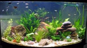При избыточном освещении в аквариуме начинают размножаться микроводоросли