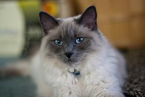 Очаровательный балинезийский кот