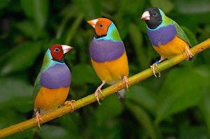 Амадины - фото забавных птичек