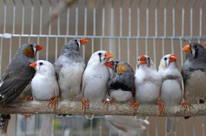 Кто такие амадины - что это за птицы