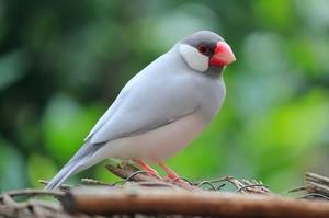 Рисовая амадина - фото птицы