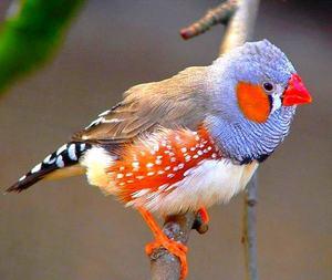 Зебровые амадины - особенности расцветки