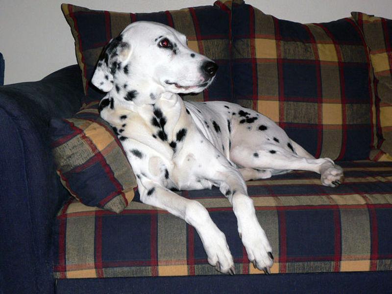 Описание породы собак далматинец, особенности ухода и содержания, отзывы владельцев
