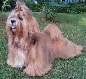 Лхаса порода собак