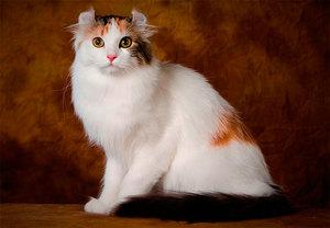 Кошка американский керл