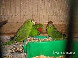 Зеленый попугай какарик