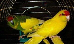 Попугаи какрики в клетке