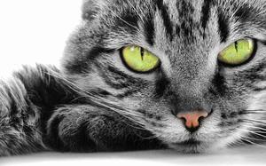 Огуречный цепень у кошек-уход