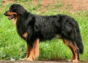Ховаварт - особенности породы собак
