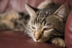 Сахарный диабет у котов и кошек - лечение