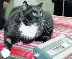 Сахар в крови кошек - какие показатели считают нормой