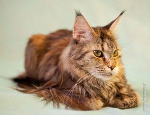 Кошки пушистые с кисточками на ушках - породы