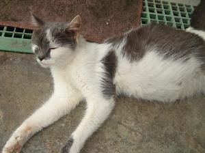 Как проявляется коронавирус у кошек