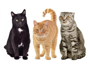Кошки разных пород и цветов