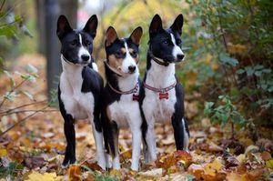 Три собаки басенджи