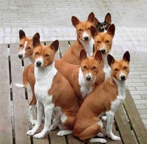Группа собак басенджи