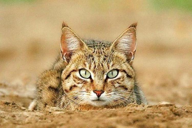 Сухой рацион для взрослых кошек CRAVE — состав и особенности корма