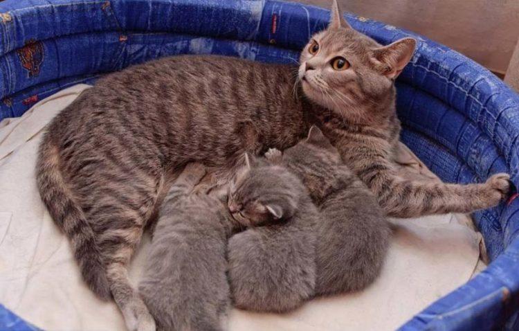 Как влияет кормление на течение беременности у кошек