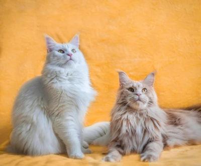 Корм для мейн кунов: рейтинг лучших производителей сухого и влажного питания для взрослых кошек и котят с ценами и отзывами потребителей